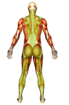 השרירים המוחזקים ברפלקס האור הירוק