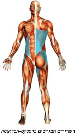 השרירים המגויסים ברפלקס הטראומה